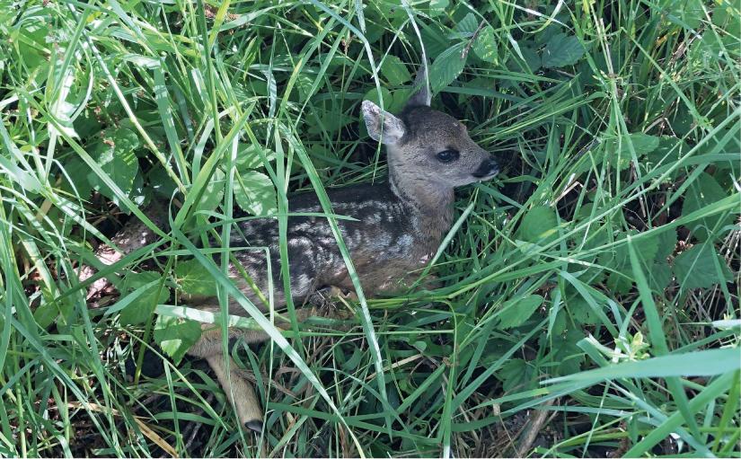 Gut im Gras versteckt: Das Rehkitz verhält sich ganz ruhig und wartet auf die Rückkehr der Mutter. - Foto: Gauselmann Stiftung